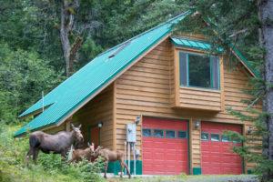 Moose, calf, Su Casa, Haines, Alaska, vacation rental