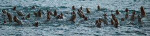 sea lion, wildlife, chilkoot river, Haines, AK, Alaska, Lutak