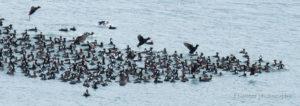 surf scoter, duck, wildlife, chilkoot river, Haines, AK, Alaska, Lutak