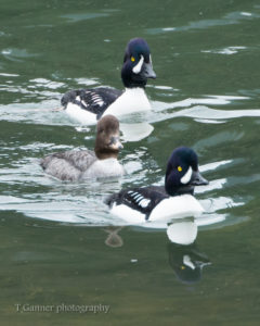 Barrow's Goldeneye, duck, wildlife, chilkoot river, Haines, AK, Alaska, Lutak