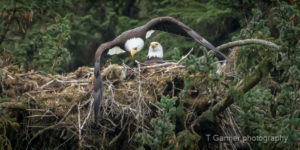 photography tips, exposure, travel, wildlife photography, eagle, bald eagle