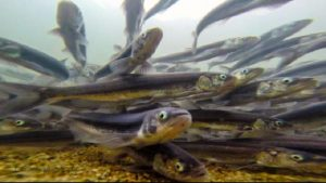 hooligan, fish, wildlife, chilkoot river, Haines, AK, Alaska, Lutak