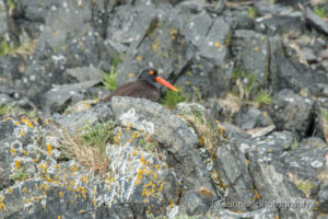 black oystercatcher, Edred Rock, Lynn Canal, Haines Alaska, wildlife
