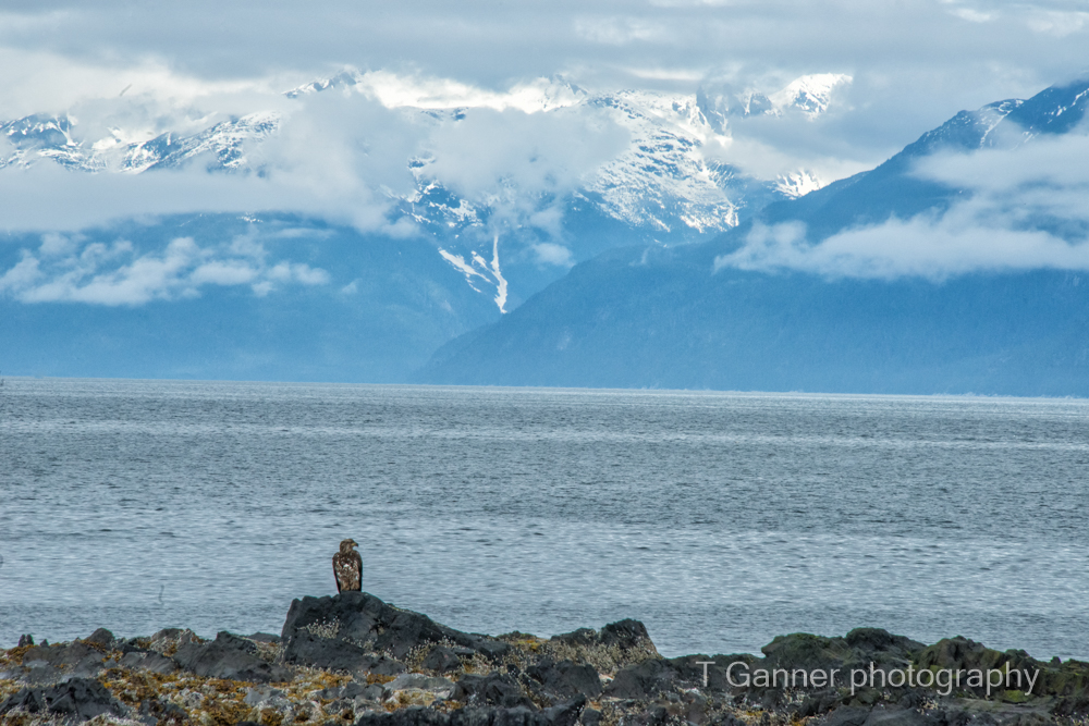 juvenile bald eagle, Edred Rock, Lynn Canal, Haines Alaska, wildlife