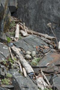 black oystercatcher, nest, eggs, Edred Rock, Lynn Canal, Haines Alaska, wildlife