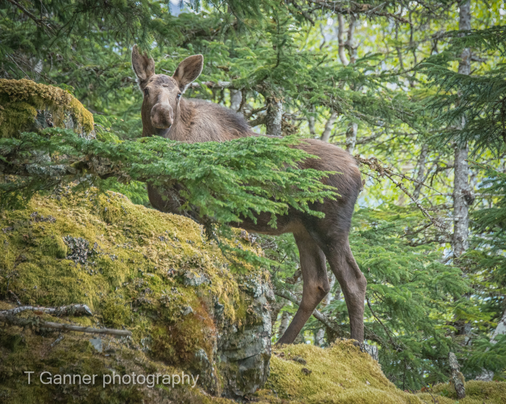 moose, Haines Alaska, Haines, wildlife, Su Casa, vacation rental