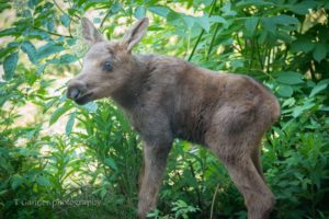 moose, orphan, moose calf, Haines Alaska, ungulate