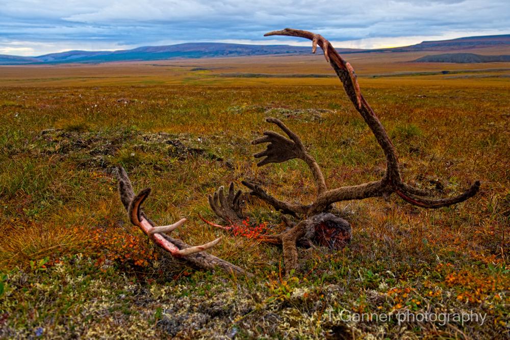 Dempster Highway, grizzly bear, Richardson Mountains, Yukon Territory, Yukon, tundra, caribou, antler, wildlife photography