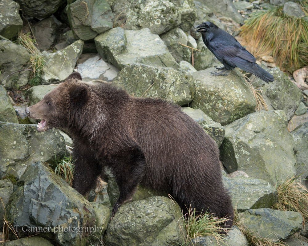raven, bear, cub, vocalization, inter-species, communication, wildlife, photography, raven shares wisdom