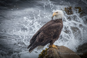 Photographing bald eagles is a matter of patience and practice