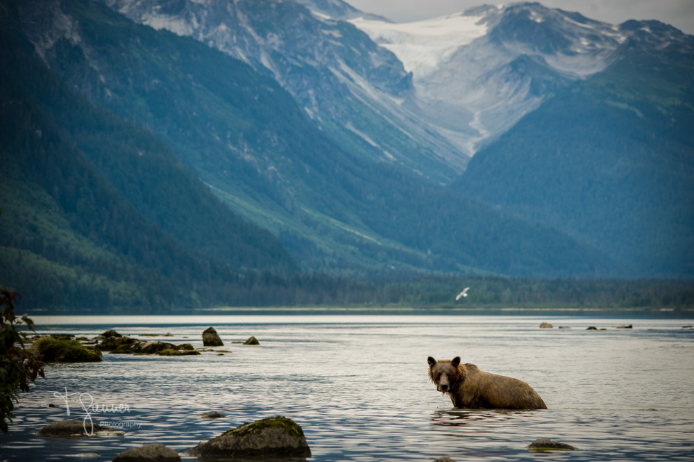 Chilkoot Bear | A celebration of the life of Speedy