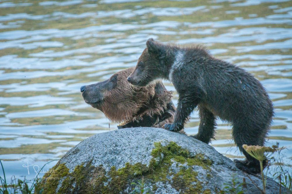 Portraits of a Chilkoot bear | Celebrating the life of Speedy
