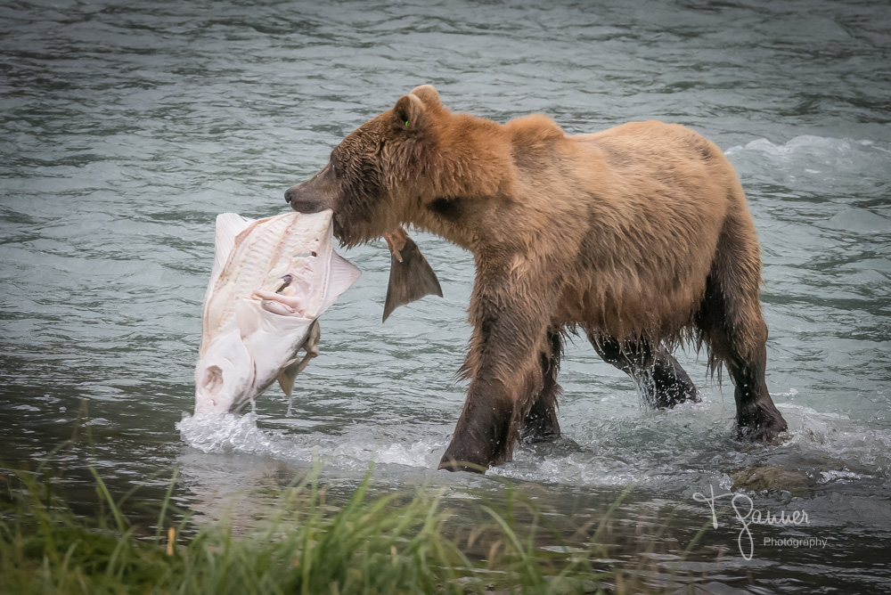 Brown bear, grizzly bear, Chilkoot, Speedy, Haines, Alaska