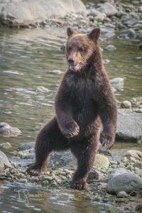 bear, brown bear, grizzly bear, Chilkoot River, Chilkoot River Bears, Chilkoot River Bears Chronicles, wildlife, wildlife photography, T Ganner Photography, Haines, Alaska