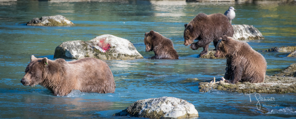 brown bear, grizzly bear, chilkoot river, haines, alaska, wildlife photography, t ganner photography, private tour, eagle, bald eagle