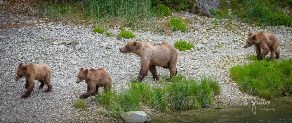 Chilkoot, Haines, Alaska, brown bear, salmon