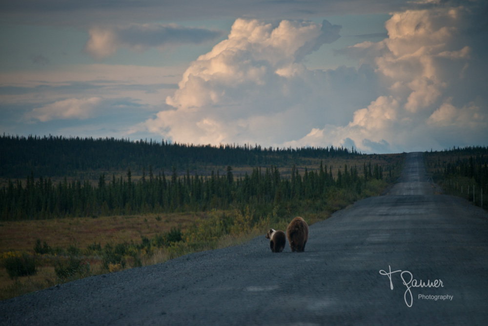 Dempster Highway, Yukon Territory, Northwest Territory, Arctic Circle, Richardson Mountains, wildlife, wildlife photography, bear, grizzly bear