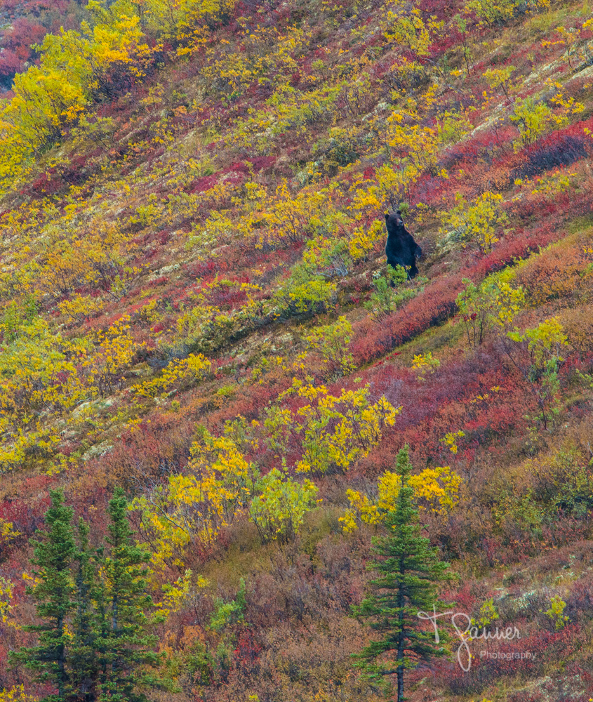 Dempster Highway, Tombstone Territorial Park, Yukon Territory, wildlife, wildlife photography, bear, grizzly bear