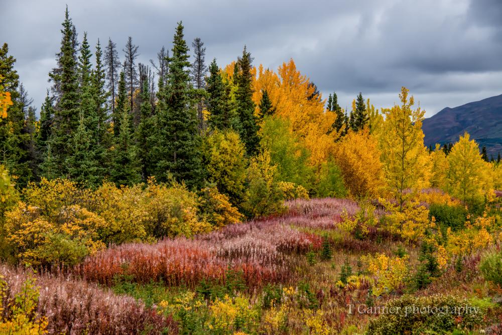 Alaska, autumn, Alaska autumn,, foliage, Kluane, Yukon, Haines Highway, fireweed