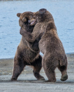 bear, grizzly bear, brown bear, Katmai, Katmai National Park, Alaska, Hallo Bay, brown bears