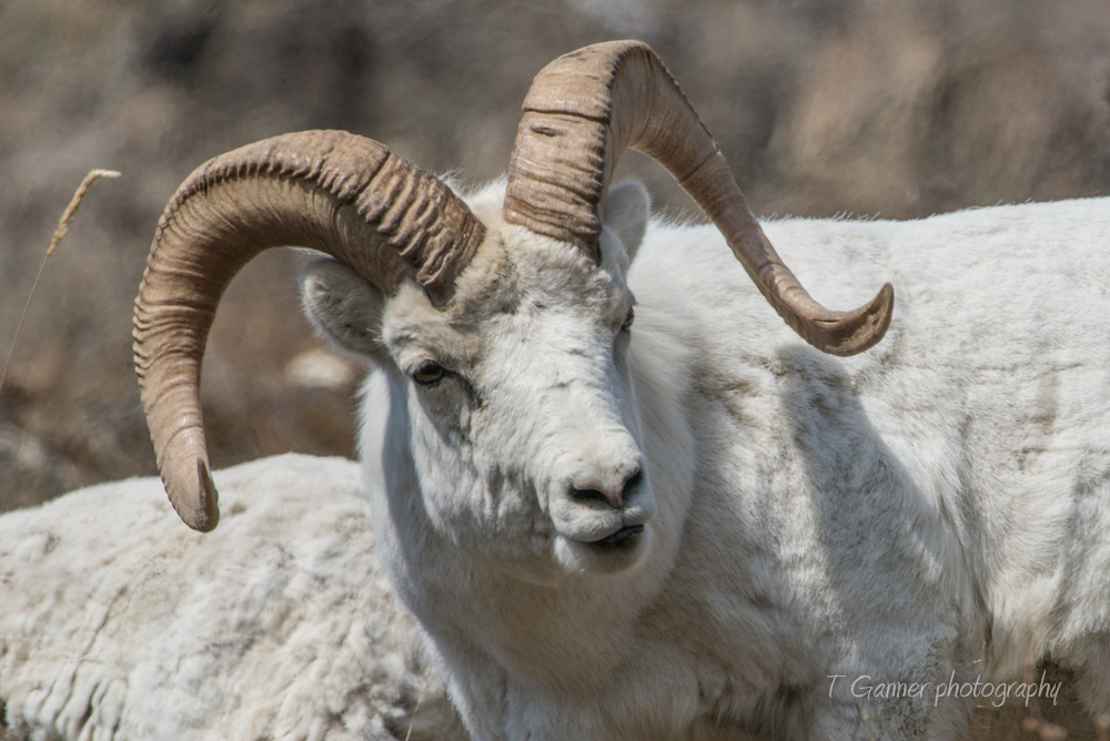 Kluane, Yukon Territory, Sheep Mountain, Dall sheep