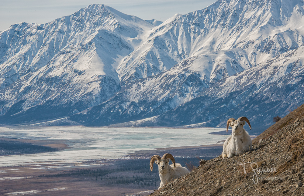 Kluane, Yukon Territory, Sheep Mountain, Dall sheep, Slims River