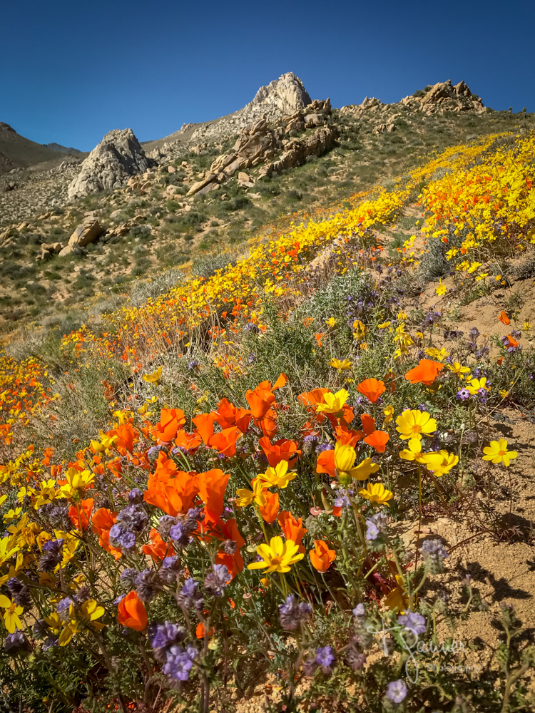 California Super Bloom, wildflowers, Mojave wildflowers, Short Canyon, Ridgecrest, Inyokern, Sierra Nevada, Indian Wells Valley