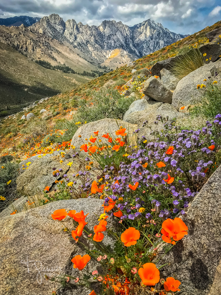 California Super Bloom, wildflowers, Mojave wildflowers, Ridgecrest, Inyokern, Sierra Nevada, Grapevine Canyon, Indian Wells Valley