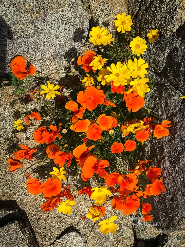 California Super Bloom, wildflowers, Mojave wildflowers, Ridgecrest, Inyokern, Sierra Nevada, Grapevine Canyon, Indian Wells Valley