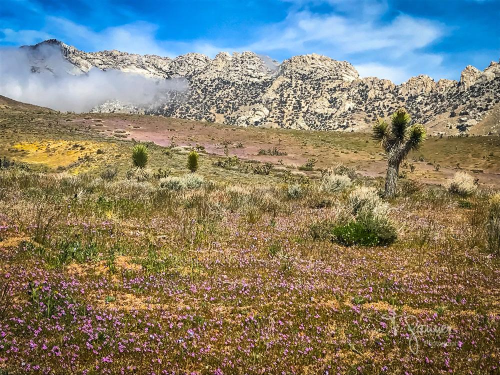 California Super Bloom, wildflowers, Mojave wildflowers, Ridgecrest, Inyokern, Sierra Nevada, Indian Wells Canyon, Indian Wells Valley, Joshua Tree