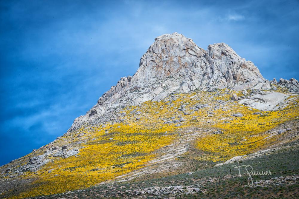 California Super Bloom, wildflowers, Mojave wildflowers, Ridgecrest, Inyokern, Sierra Nevada, Indian Wells Canyon, Indian Wells Valley