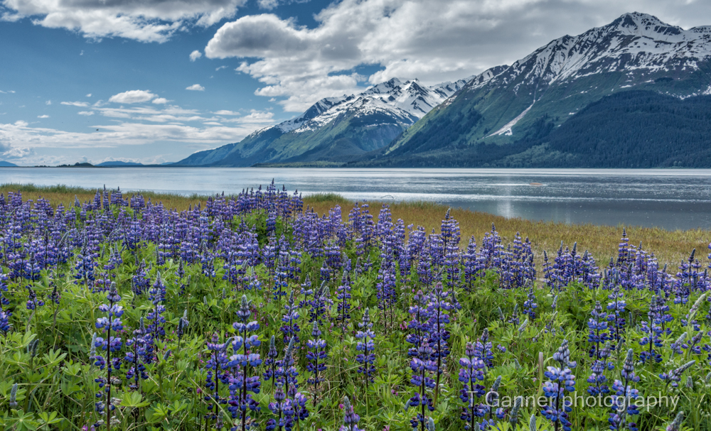 T.Ganner Photography, wildflowers, lupine, Chilkat River, Haines, Alaska