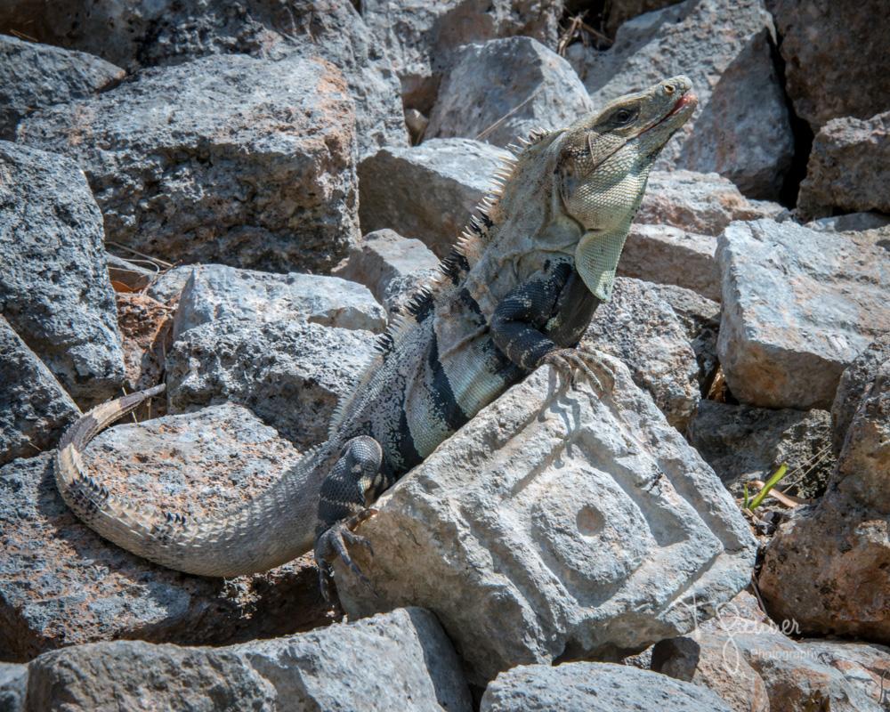 Uxmal, Maya, Mayan, Mayan culture, Yucatan, Mayan ruins, iguana